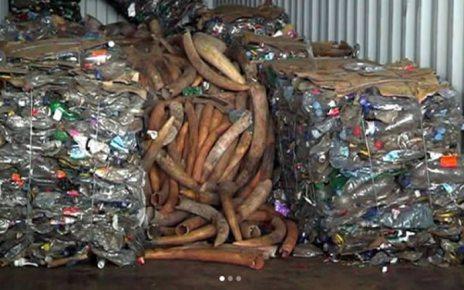 As Alfândegas estimaram que tivessem apreendido uma tonelada e meia de marfim, no Porto de Maputo, ontem. No entanto, os números são outros