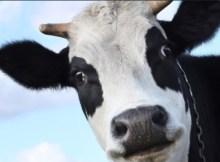 Uma vaca búlgara foi parar por descuido em território sérvio, fora da União Europeia, e deve ser sacrificada, uma vez que as regras do bloco impedem que
