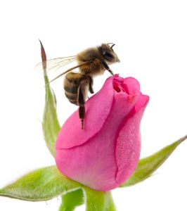 A honey bee perceives a rose completely differently than do we or any other life form.