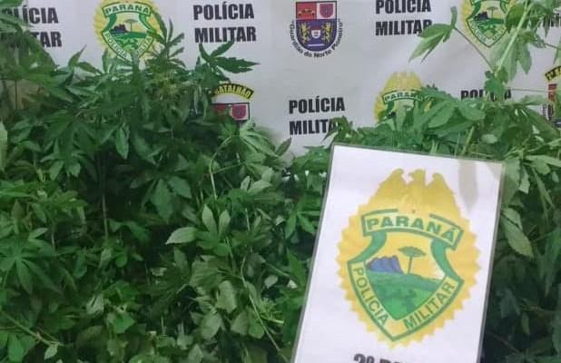 Polícia Militar encontra plantação de maconha