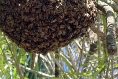 Homem vai buscar fruta em quintal e morre atacado por abelhas no Paraná