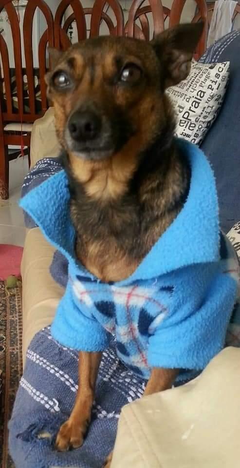 Cachorro Pitoco é encontrado e devolvido à dona, após recompensa de R$ 2 mil e 38 dias perdido