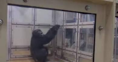 Chimpanzés também sabem dançar