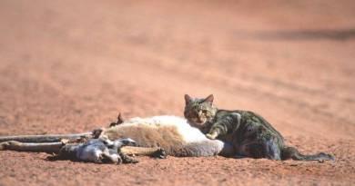 Gatos estão piorando ainda mais a tragédia ambiental na Austrália