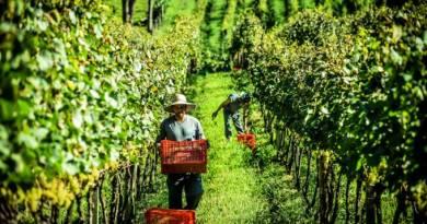 A safra de pequenas vinícolas gaúchas agora disponível no varejo online
