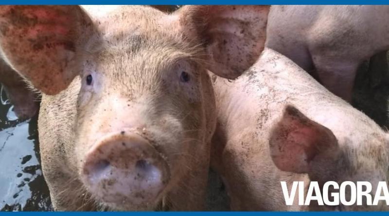 Foco de peste suína é identificada em Lagoa do São Francisco