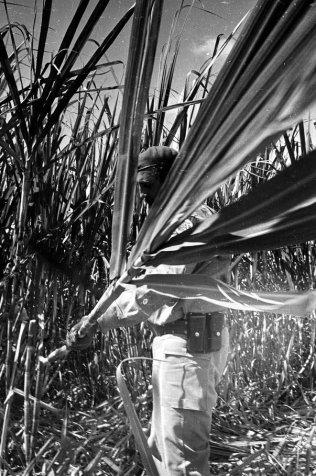 Cortando cana, março de 1965, como Che, dando o exemplo com o trabalho voluntário.