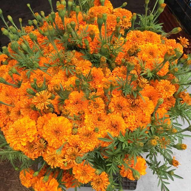 Marigold Flowers Information  Recipes and Facts