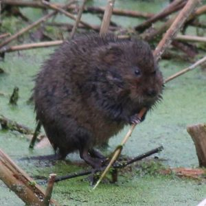 Water voles can be seen in the rhynes at Portbury Wharf