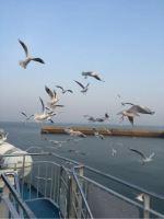 長崎多比良港〜熊本長洲港フェリー、カモメが凄い。