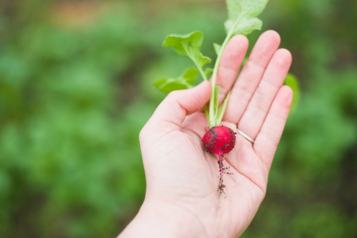 Cuisiner le radis de terre comme un chef !