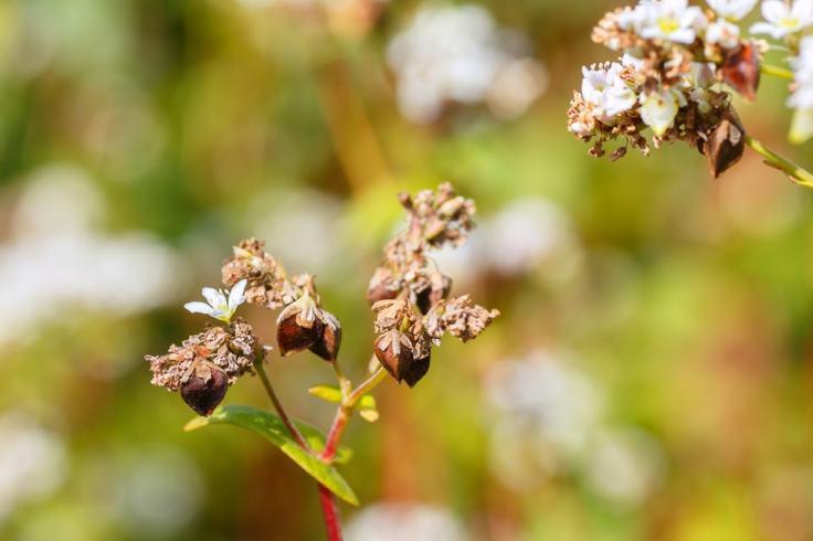 La graine est extraite de la fleur de sarrasin