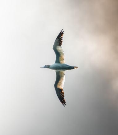 Le fou de Bassans est un oiseau marin plutôt imposant