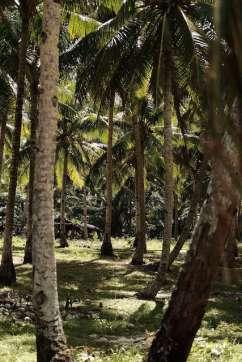 Les cocotiers de l'île