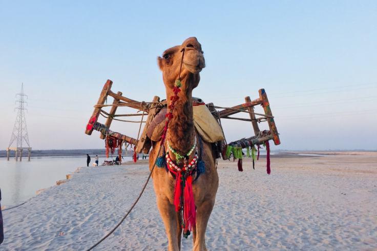 """Le chameau, ou """"kanval"""", vit dans les zones chaudes... pas vraiment par chez nous !"""