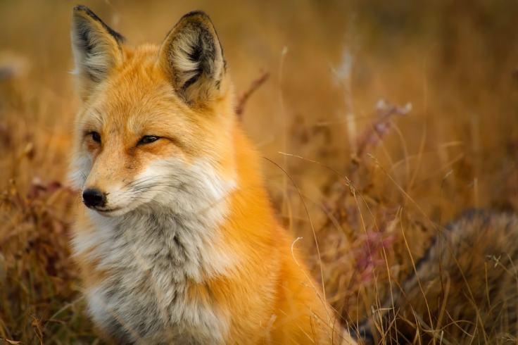 """Le renard, ou """"louarn"""", se repose souvent...ou surveille-t-il une proie ?"""