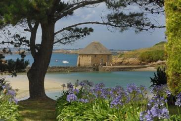 Agapanthes sur l'île de Batz
