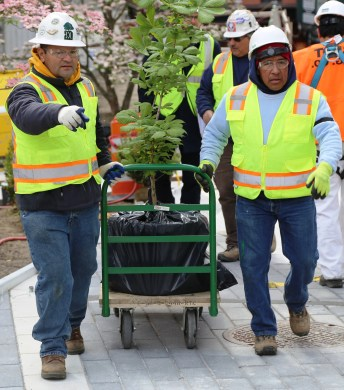 Workers Transport Anne Frank Chesnut Tree To Planting Location at WTC Liberty Park