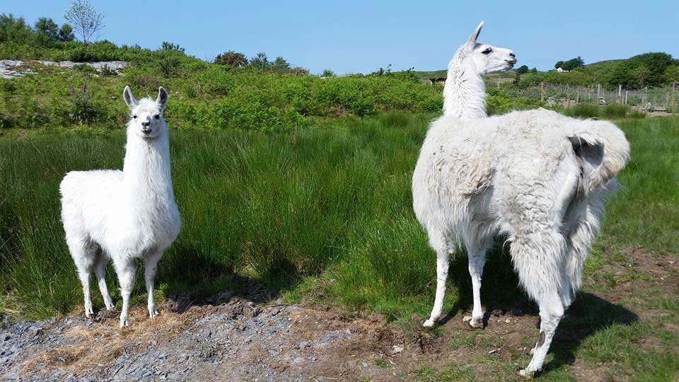 Blackrock Llama Center