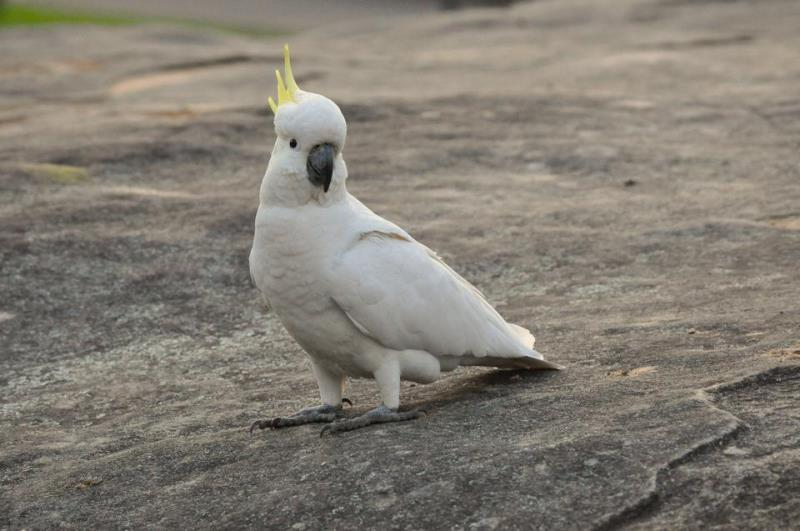 Keistimewaan Burung Murai Batu Bahorok Dari Jenis Lainnya