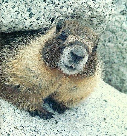 marmot.jpg