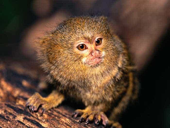 pygmy-marmoset.jpg
