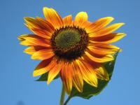 Portland Sunflower Festivals