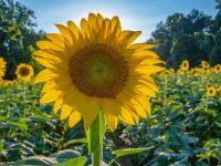 Sunflower Field West Union Gardens