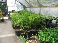 Bamboo plants ready for you to take home.