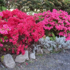 Cystal_Rhododendrons_IMG_5480