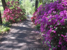 Cystal_Rhododendrons_IMG_5573
