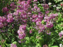 Cystal_Rhododendrons_IMG_5660