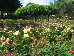 Many roses.