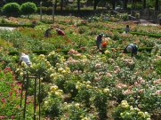 What does it take to keep a rose garden looking nice, lots of volunteers.
