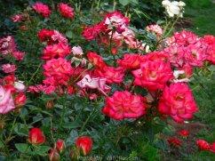 RoseGarden_DSCF2492