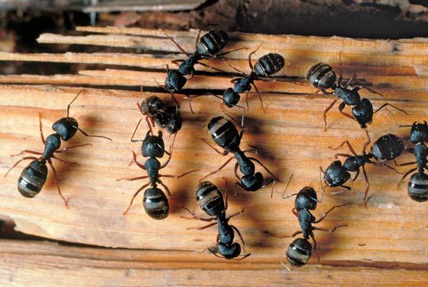 Are Ants Carpenter Big How