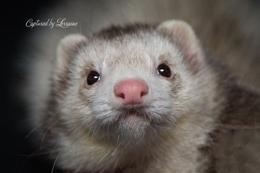Illinois Ferret Photography