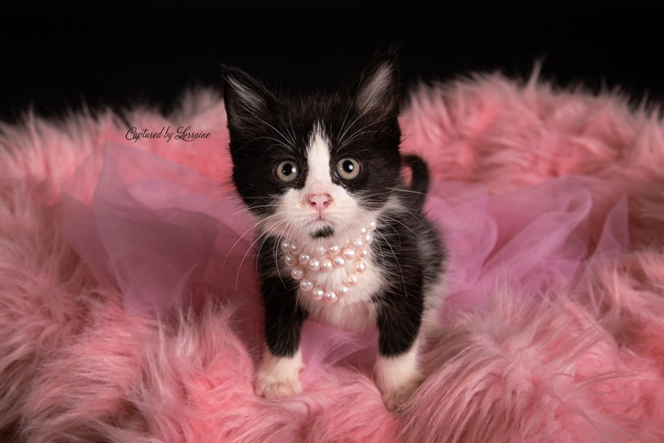 Illinois Kitten Photography