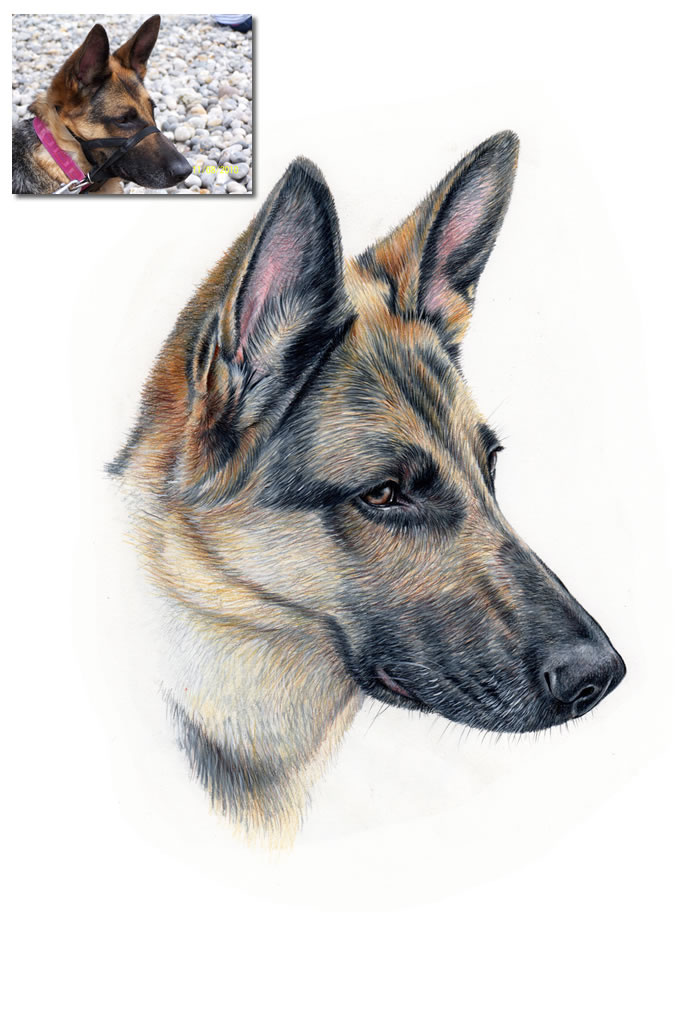 German Shepherd Drawing Commission Hand Drawn Portraits - German-shepherd-drawings