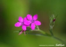 Deptford Pink