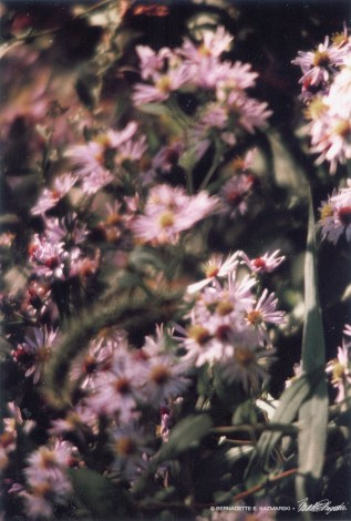 Asters on Parade-1000px