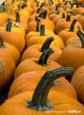bedners-pumpkins-vertical-1000px