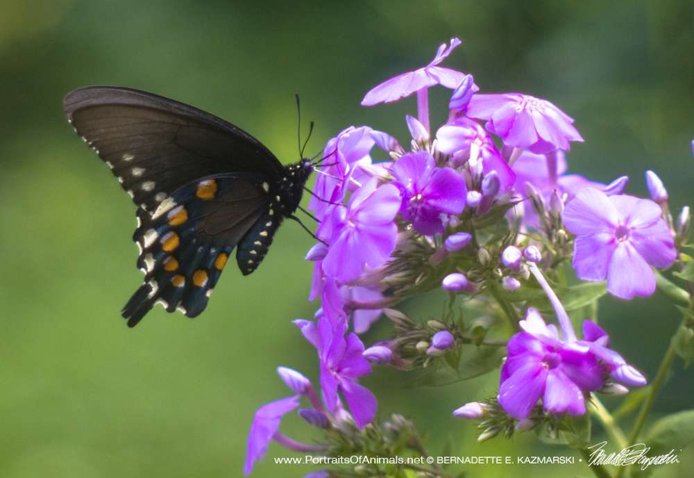 Black Phase Swallowtail Visiting the Phlox, Butterfly Photo