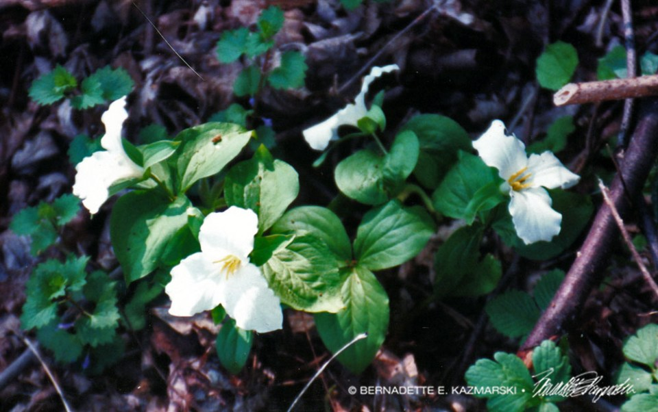 The trillium grandiflorum in my back yard from that long-ago farm.