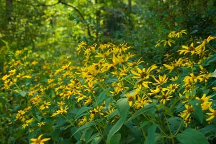 Sunflowers and Honeysuckle