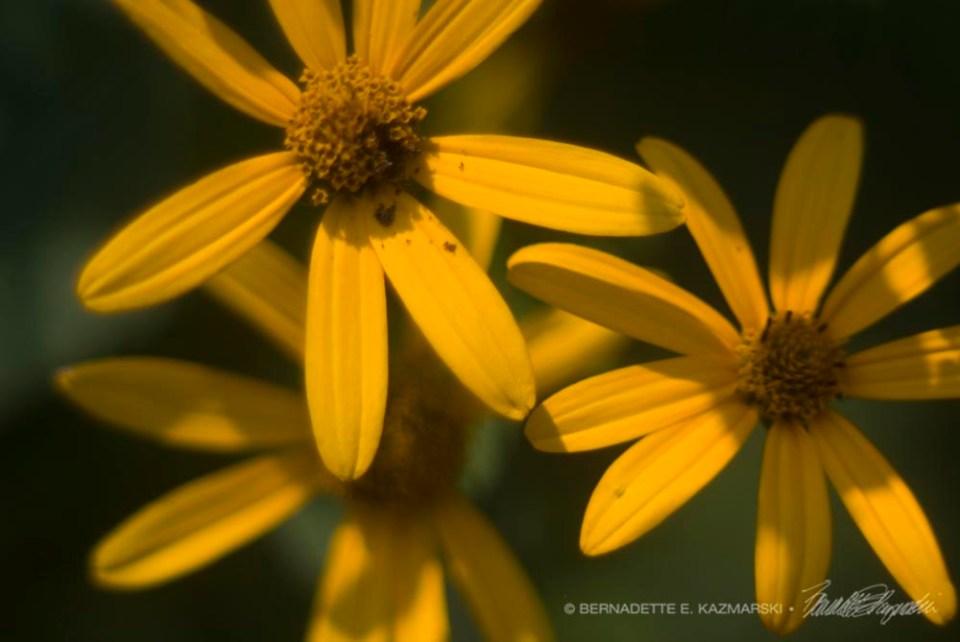 Three Sunflowers
