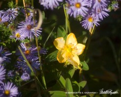 Aster and hypericum