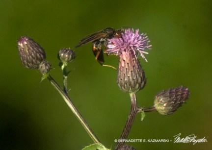 Bee feasting on thistle