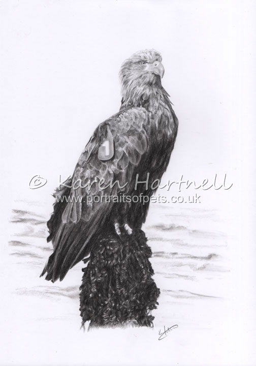 White-tailed Eagle Turquoise 1