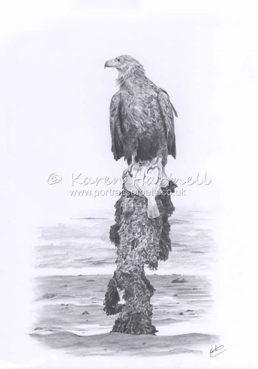 White-tailed Eagle Turquoise Z